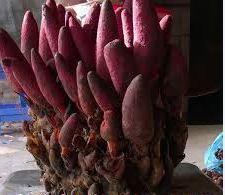 Tác dụng của nấm ngọc cẩu (tỏa dương)